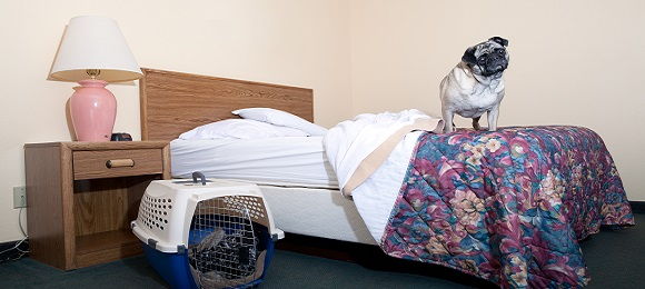 Pug dog standing on hotel bed